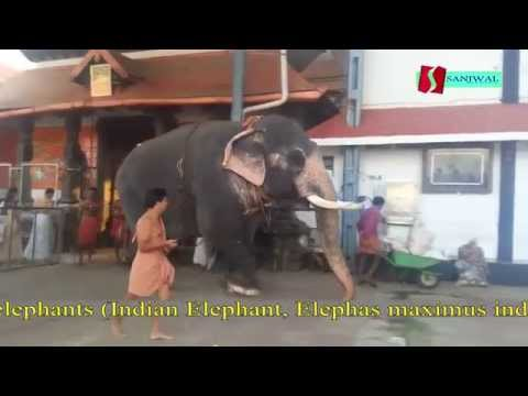 guruvayur temple kerala elephants india