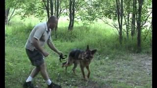 Дрессировка собак  ОКД собак  Третье базовое упражнение  Реакция на рывок