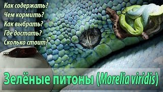 Зелёный питон. Змея для новичков?