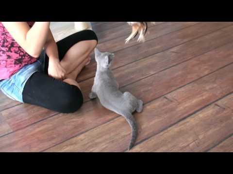 Igor, the 15 week old Russian Blue kitten