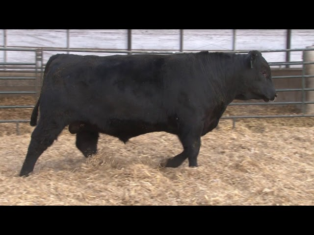 Schiefelbein Angus Farms Lot 379