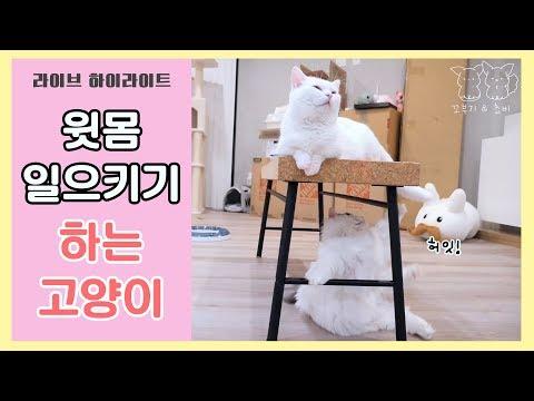 윗몸일으키기 하는 고양이 쵸비