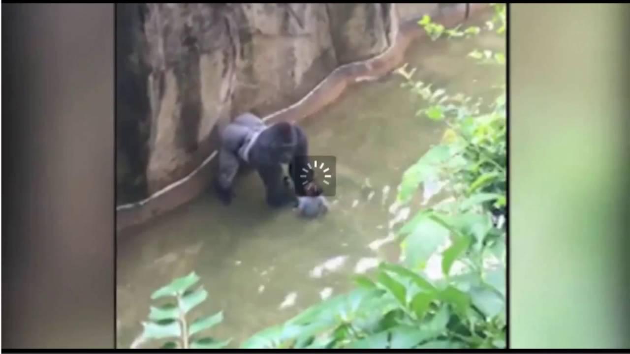 Toddler Falls Into Gorilla Cage At Cincinnati Zoo Youtube