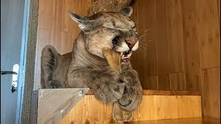У пумы Месси режутся зубы. Puma Messi has teething.