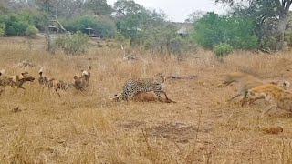 Leopard vs Wild Dogs vs Hyenas vs Impala Thumb