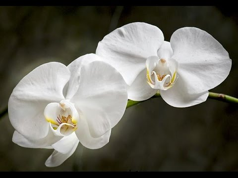 MOTH ORCHIDS - HOW TO GROW AND CARE FOR PHALAENOPSIS