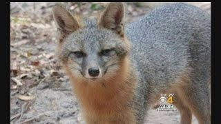 Rabid Gray Fox Suspected In String Of Natick Attacks