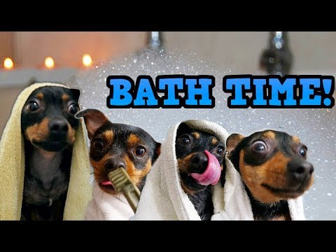 BATH TIME 4 DOGS!  ChiPin (Miniature Pinscher/Chihuahua Mix) Dogs