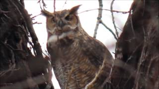 Great Horned Owl Hooting Territorial Evening Call At Sunset