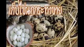 เลี้ยงนกกระทาเก็บไข่ขายเลี้ยงง่ายรายได้ดี