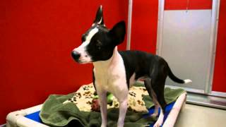 Meet Itsa A Terrier Boston Currently Available For Adoption At Petango.com! 2/15/2014 1:04:21 Pm