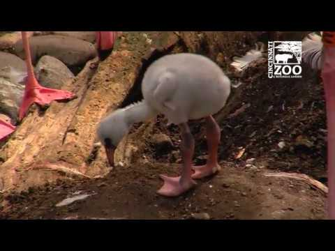 Flamingo Chicks Starting to Fill the Yard - Cincinnati Zoo