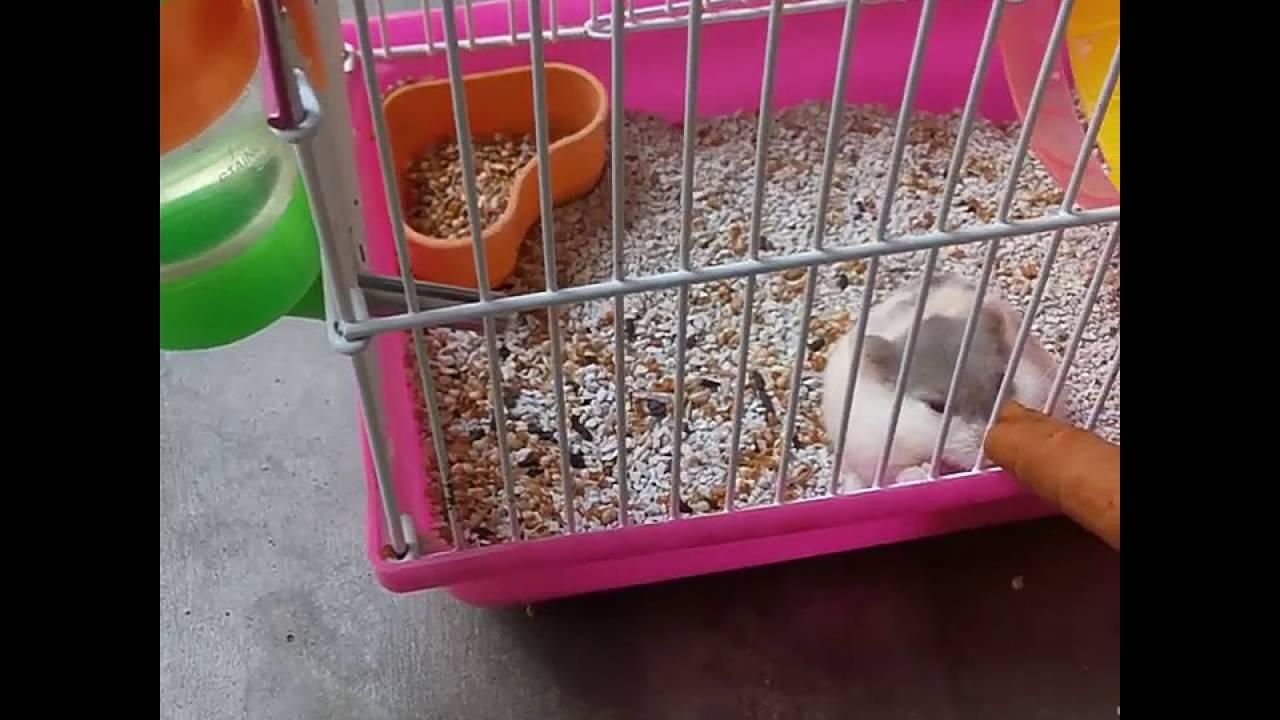 Tips Dan Cara Memberi Makan Hamster Dekan Benar Ala Haya Youtube
