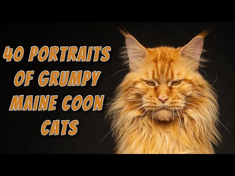 40 portraits of grumpy Maine Coon Cats.