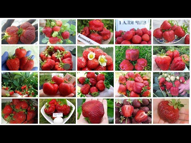 Открыт приём предзаказов на саженцы крупноплодной садовой земляники с ОКС 20 сортов на весну-2020!