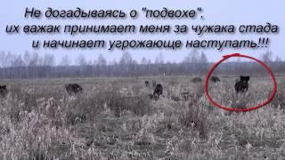 Дикий кабан потерял сознание, убегая от фотографа!?? funny story(, 2015-03-29T18:27:53.000Z)