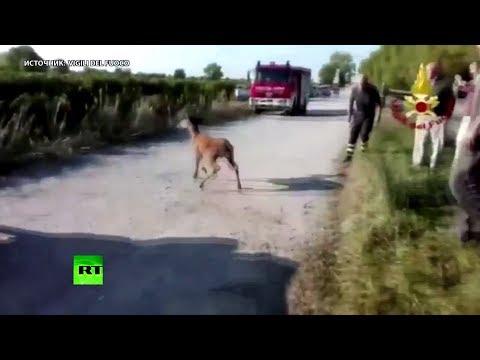 Спасение Бэмби: в Италии оленю помогли выбраться из реки