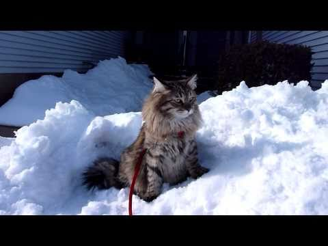 Siberian cat in snow, curious because he sees an air plane