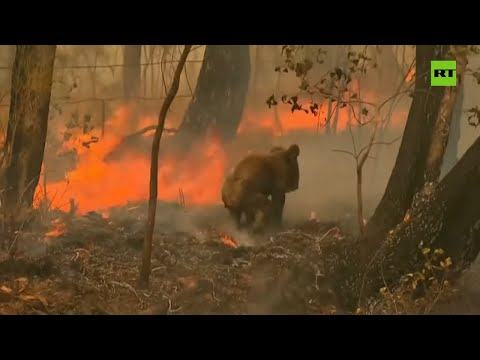 Woman Bravely Rescues Koala From Wildfire In Australia