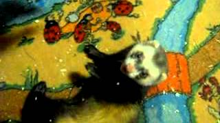 Хорек животное ласковое и больно не кусается (ferrets playing)