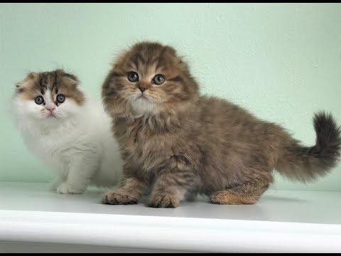 Fluffy Scottish Fold Kittens