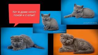Котята - шотландские, прямоухий и вислоухий. Можно купить!