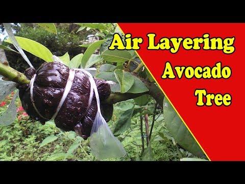 Air Layering Avocado Tree Video Tutorial | Grafting Examples