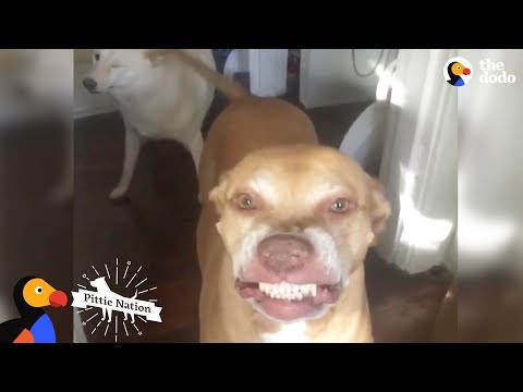 Pit Bull Has The Weirdest, Cutest Smile Ever | The Dodo Pittie Nation