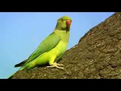 BBC2 - The Great British Parakeet Invasion