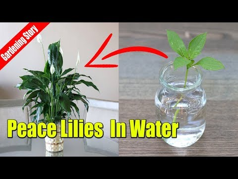 How To Grow Peace Lilies Cutting In Water