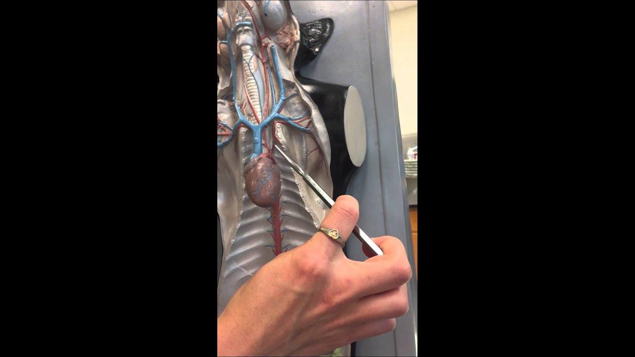 Cat Circulatory Model: brachiocephalic artery - YouTube