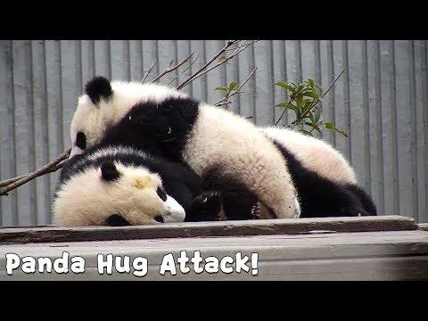 A Fluffy Panda Hug Attack Is Approaching!| IPanda