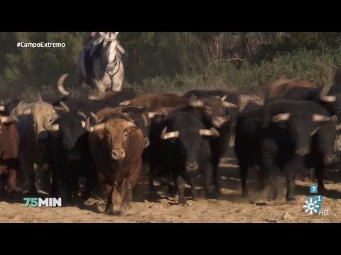 75 minutos | La cría de toros de lidia