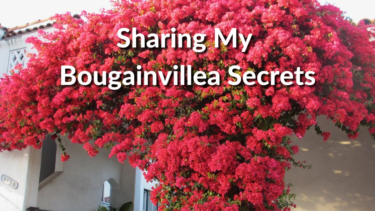 The Secrets Of Bougainvillea Sharing Everything I Know