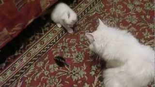 Котята метисы турецкой ангоры