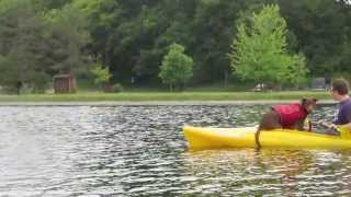 Doberman And Dachshunds Love Kayaking