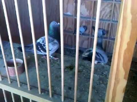 Pigeon Racing: Inside the loft of Ian Adriaanse, Paarl, South Africa