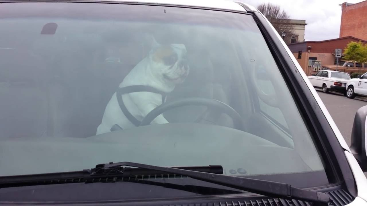 Angry Dog Left In Car Blares Horn Non-Stop Like An Impatient Human