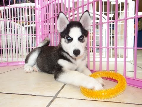 Siberian Husky, Puppies, Dogs, For Sale, In Norfolk ...