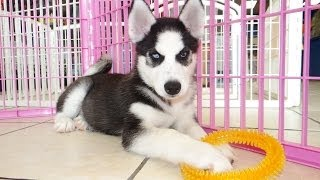 Siberian Husky, Puppies For Sale, In, Hampton, Virginia, West, Va, Norfolk, Chesapeake, 19breeders