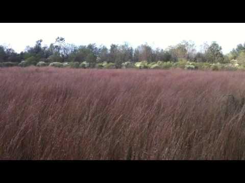 bluestem grass in Louisiana wind