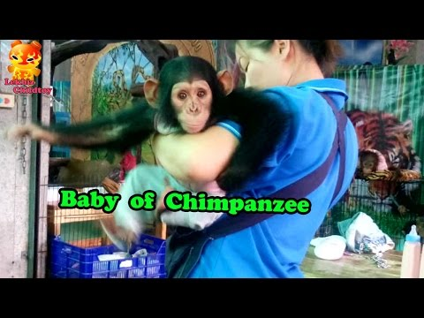 Look At... Baby Of Chimpanzee @Samutprakarn Zoo