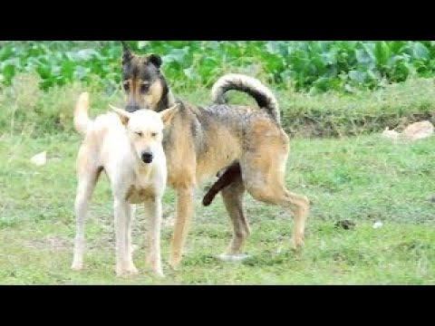 Cambo Rural Dogs!!Tibetan Mastiff Vs ChowChow