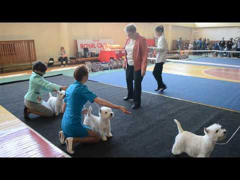 20.05.2017. Выставка собак. Вест Хайленд Вайт Терьер.