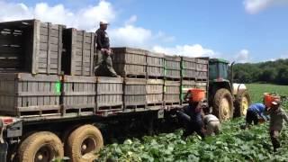 Cucumber Harvest Virginia