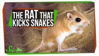 The Baller Rat That Kicks Rattlesnakes in the Face