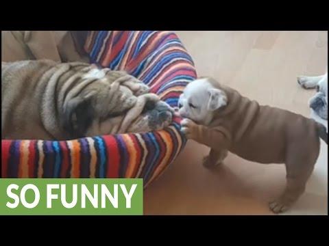 Bulldog Puppy Wants To Play, Mom Wants To Sleep