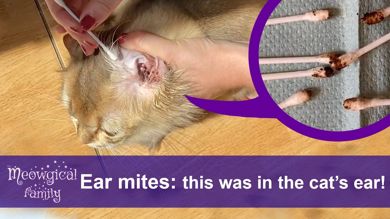 How to Treat Ear Mites in 2 Easy Steps? 🤯 Look What Was in the Cats' Ears!
