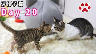 20日目 子猫と挨拶した猫と慣れない猫 【瀬戸のここ日記】
