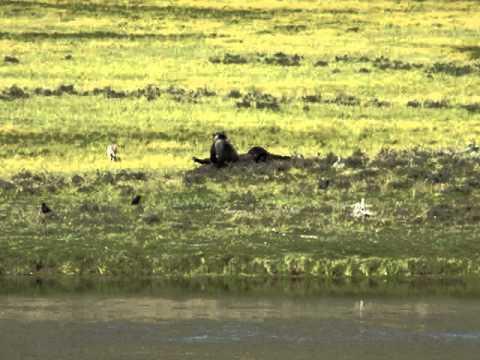 Yellowstone unbelievable~ Wolves vs. Bear